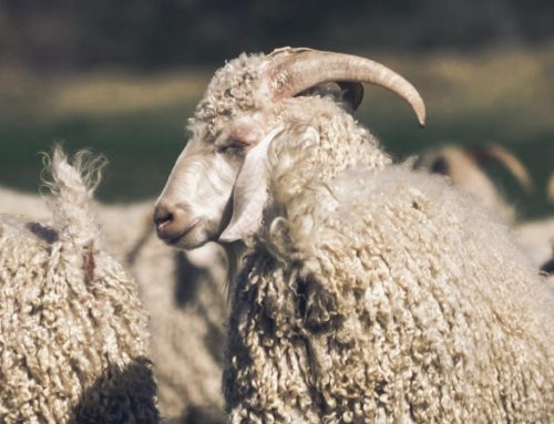 Mohair Market Report: 25 May 2021