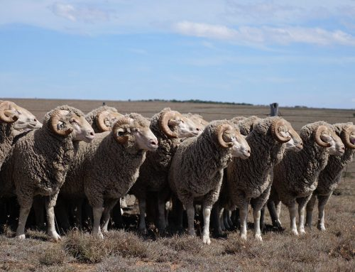 Wool Market Report – 2 September 2020
